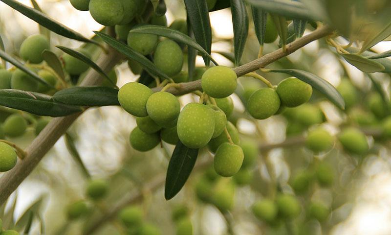 Investigadores de la UMA participan en una campaña para reunir nuevas variedades de olivo