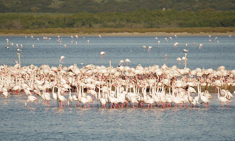 La Laguna de Fuente de Piedra cuenta en la actualidad con 8.000 parejas reproductoras de flamencos