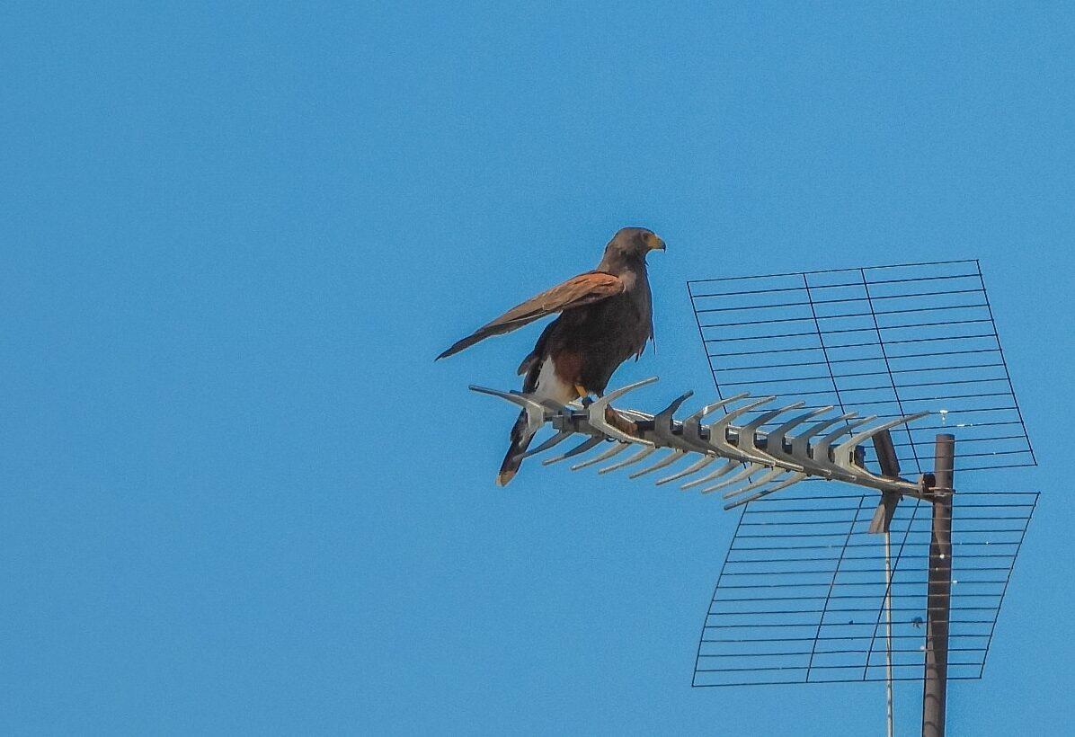 Agentes de Medio Ambiente evitan que aves rapaces exóticas aniden en la ciudad de Málaga