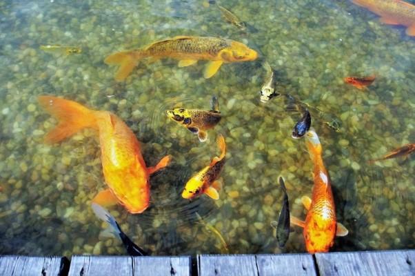 Evidencian que el desarrollo temprano del miocardio de aves y mamíferos se asemeja al de los peces cartilaginosos