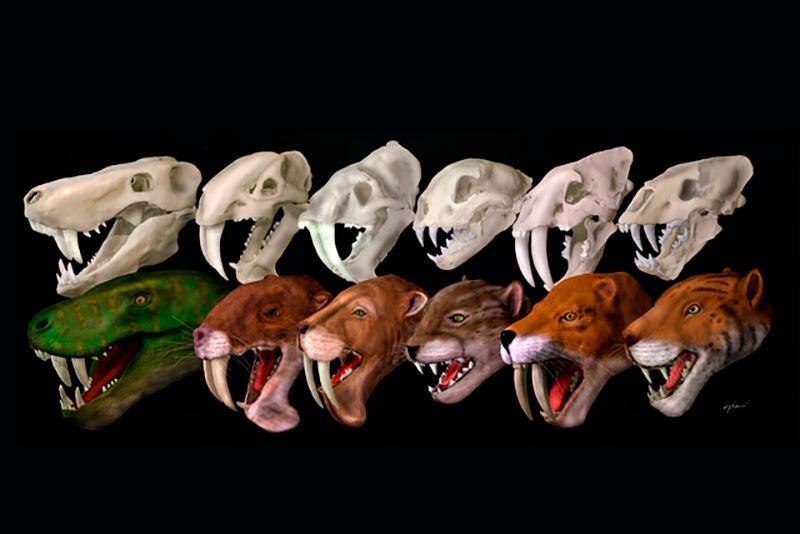 Ningún grupo de carnívoros con dientes de sable cazaba igual