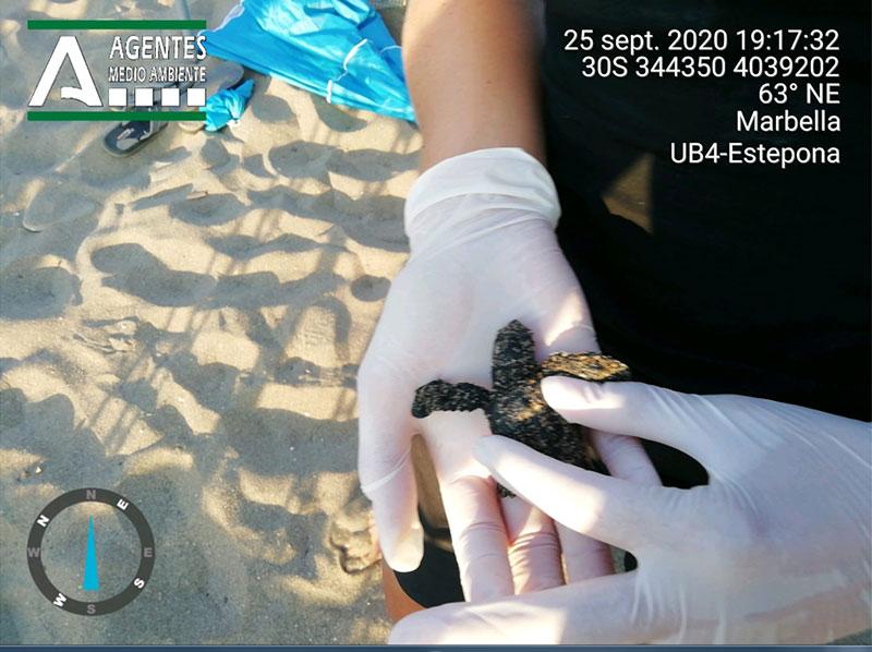 Nacimiento de tortugas bobas en Cabopino, Marbella
