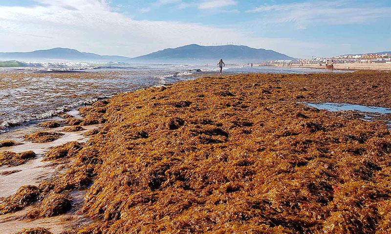 LA UMA lidera un estudio para prevenir la expansión del alga asiática