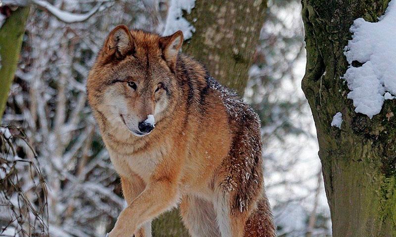 La Especial Protección del Lobo criticada por las asociaciones de agricultores y ganaderos
