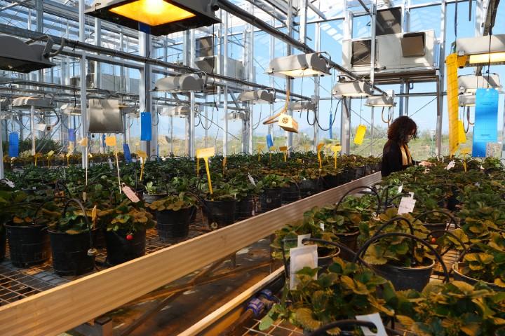 Identifican un nuevo gen esencial para la maduración de la fresa