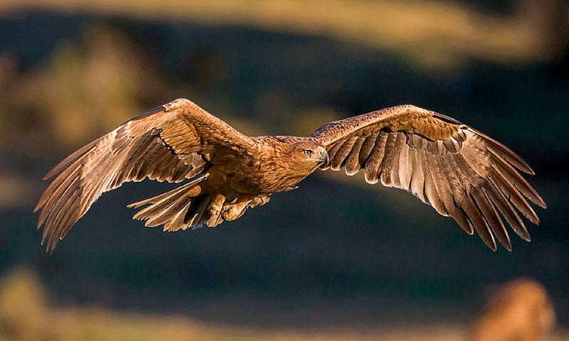 Las águilas imperiales ibéricas logran en 2020 un nuevo récord de población nidificante con un total de 123 parejas y 10 nuevos territorios