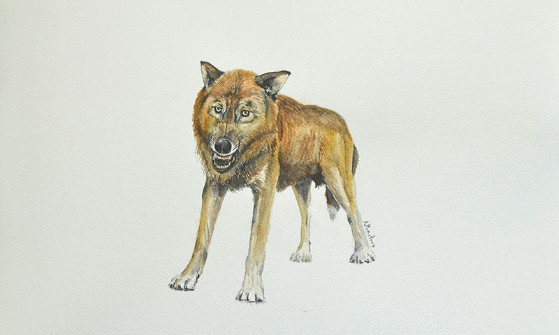 Descubren una nueva especie de pequeño lobo en el yacimiento de Venta Micena en Orce