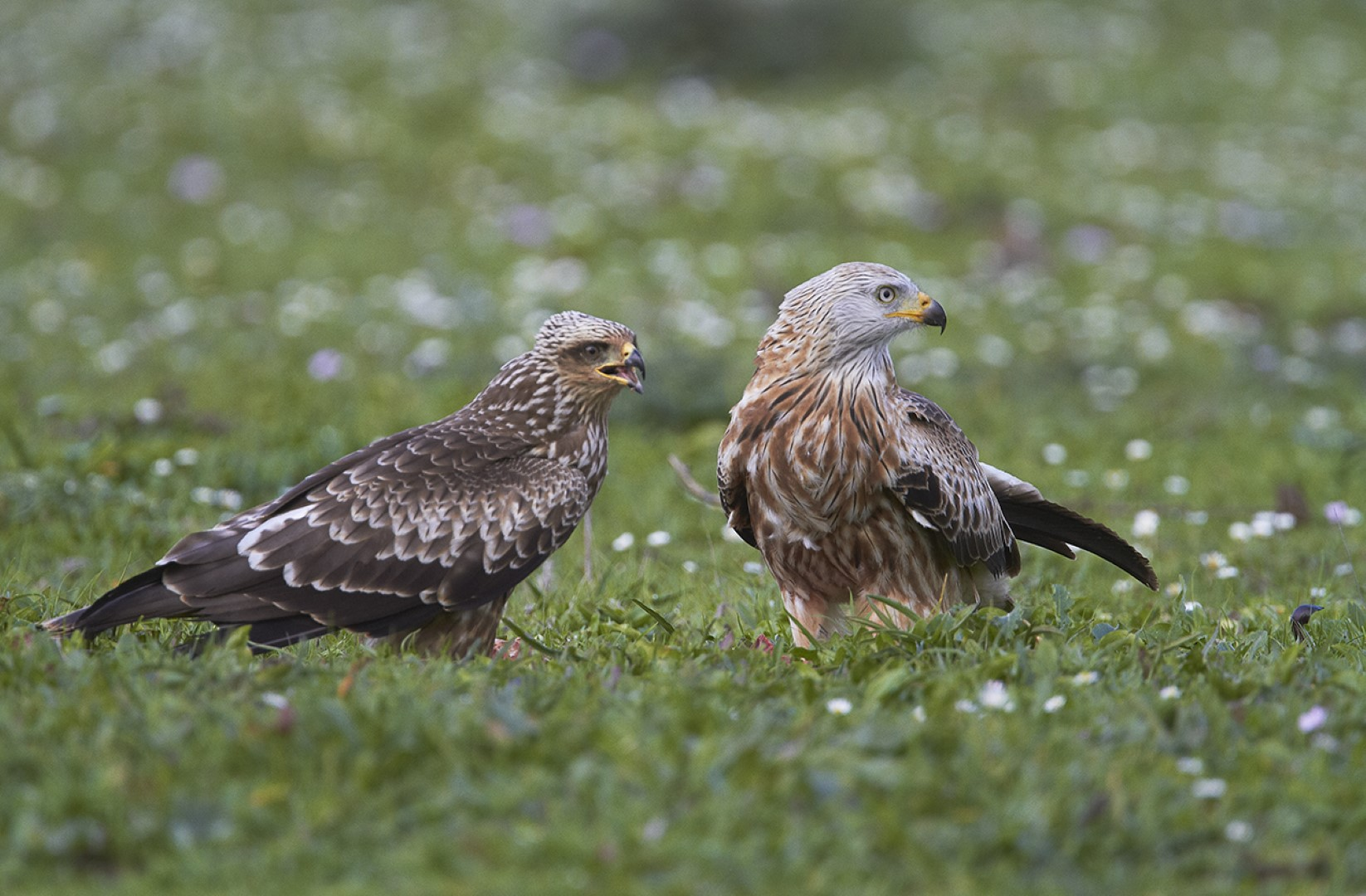 La Junta localiza por primera vez un nido de milano real en la provincia de Málaga